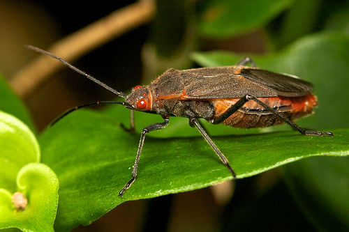 Leptocoris tagalicus by Paul Looyen